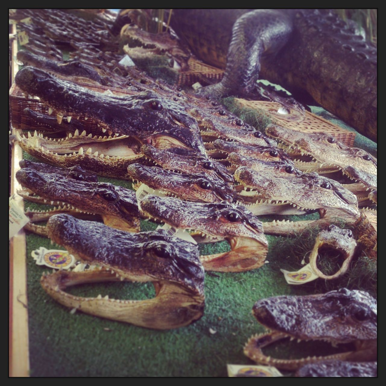 "Dried gator heads, bottled sharks, trailer parks and songs about the ""Swannee Ribber"""